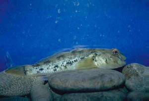 Color photo of Round Goby on rocky bottom. D. Jude, Univ. of Mich., 1998.